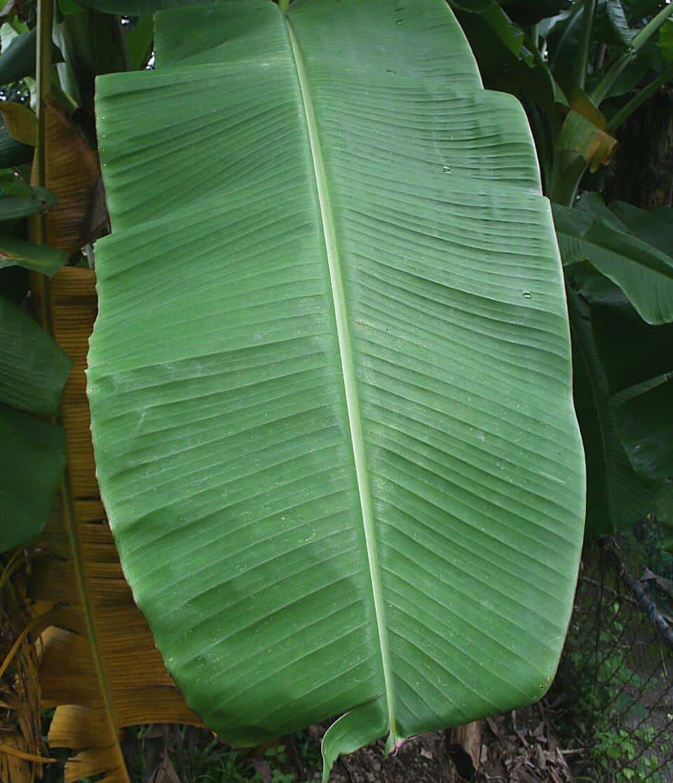 How To Cook With Banana Leaves