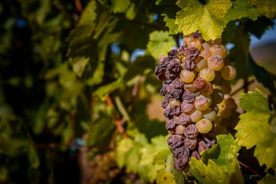Aszú grapes