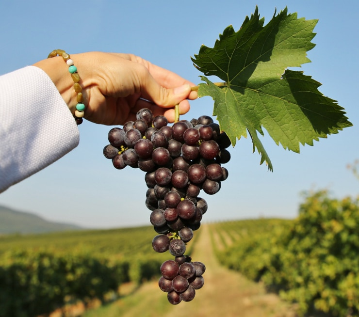 a hand holding black grapes