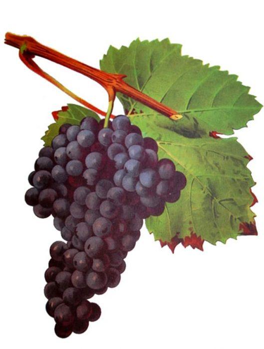 Tannat Grape