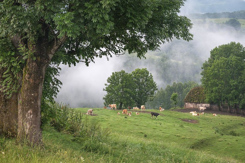 Cows pasture in Transylvania