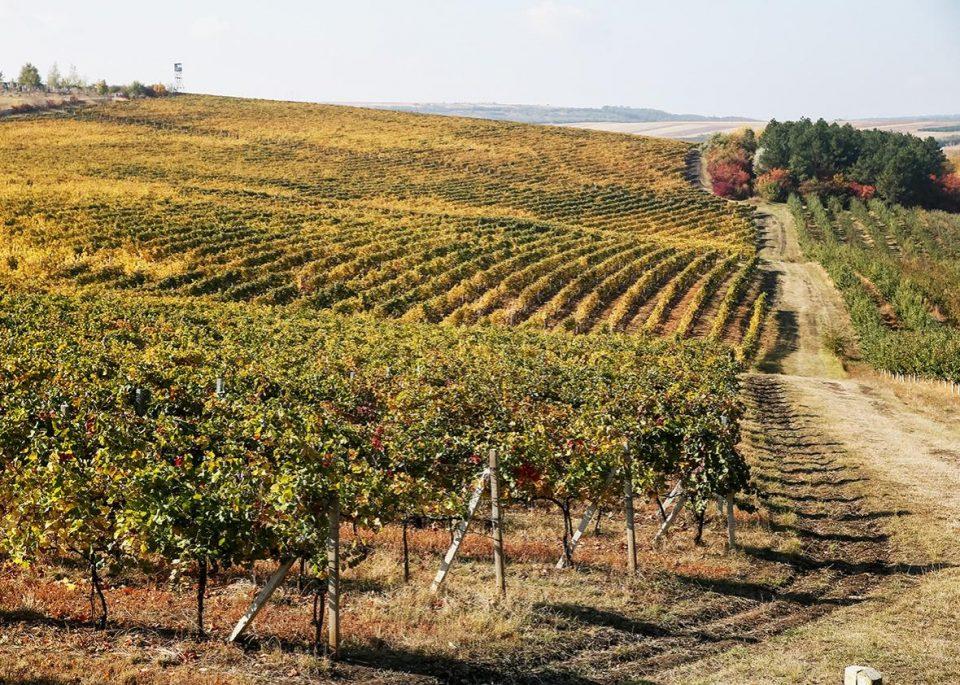 View of the Cricova vineyard