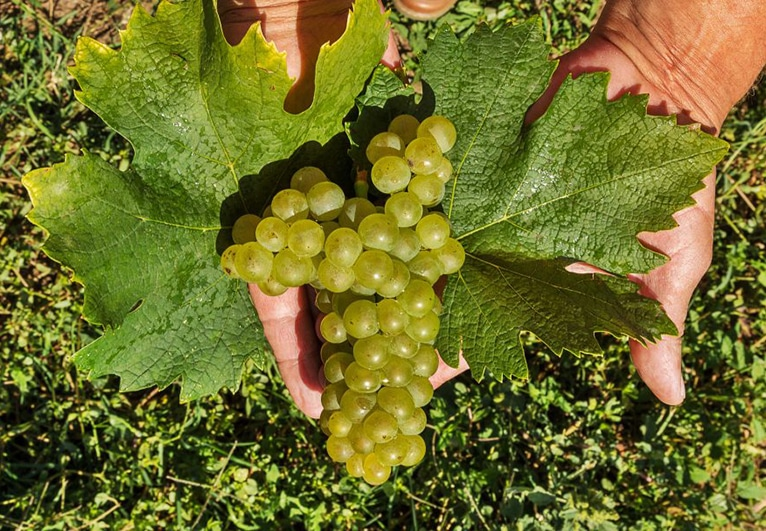 white grapes in two hands