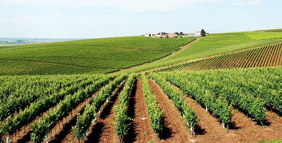 Recas vineyard