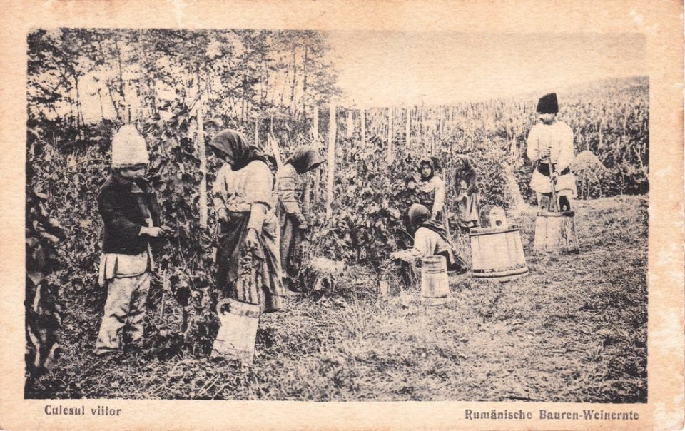 old photo of people picking up grapes