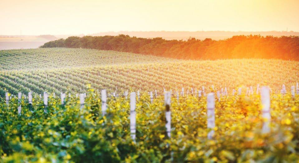 Vineyards in Moldova